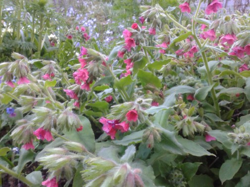 Pulmonaria with pink flowers