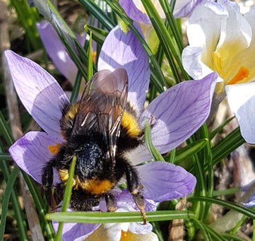 A photo of Bufftail bumblebee queen on a crocus flower