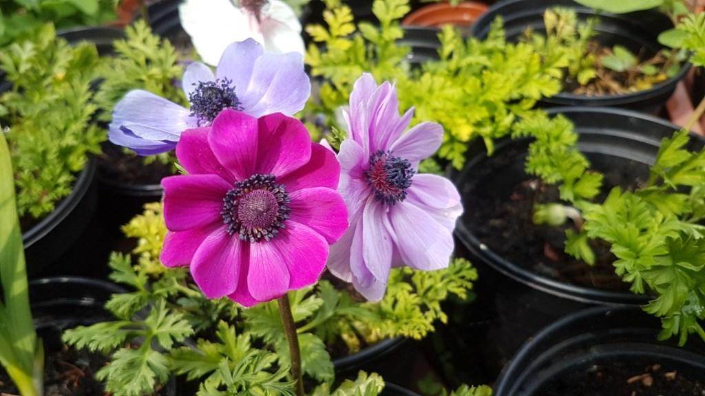 Anemones in flower