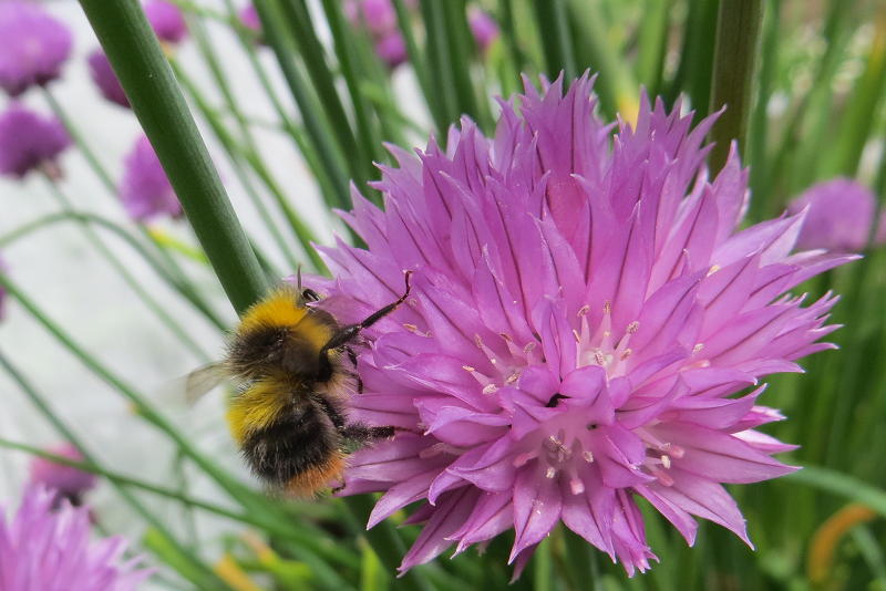 A photo of Early Bumblebee On Chives