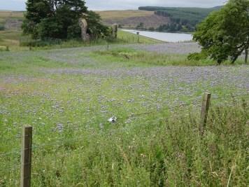 A photo of Phacelia Meadow