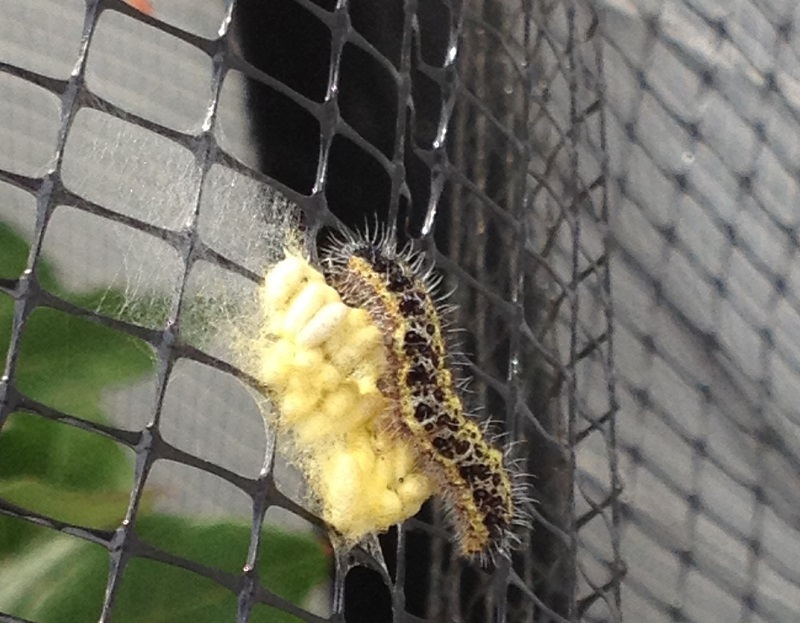 A photo of Parasitic Wasp Larvae on cabbage white caterpillar