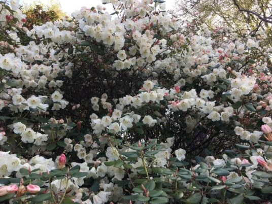 Flowering bush at Branklyn Gardens
