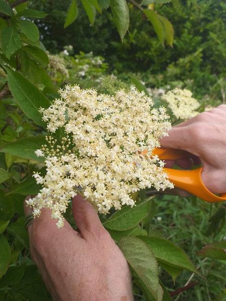 a photo of elderflower
