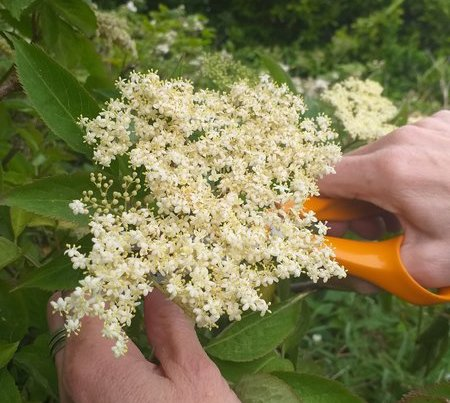 a photo of elderflower