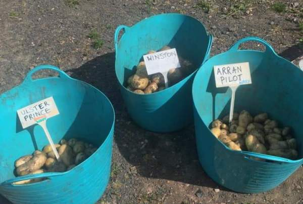 A photo of early tattie harvest