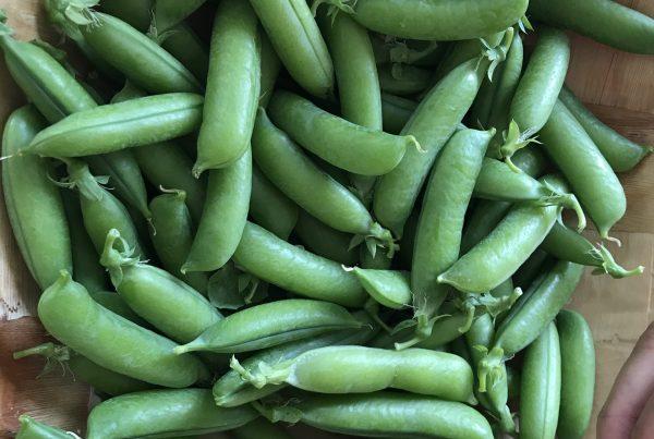 Harvest of peas from Carmen's lotti