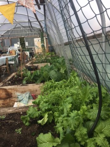 Photo showing plants in the polytunnel