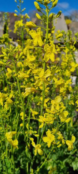 Photo showing flowering kale