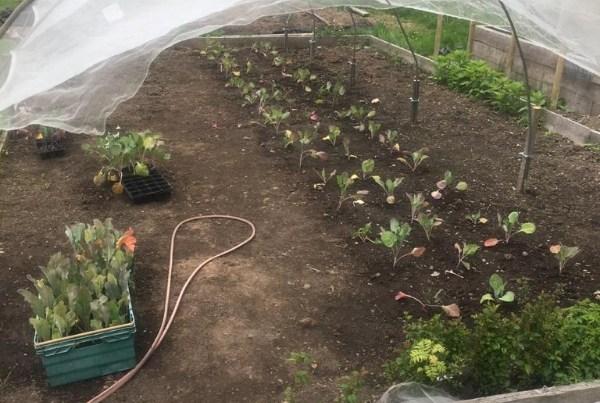 Brassica cage at Tayport Community Garden