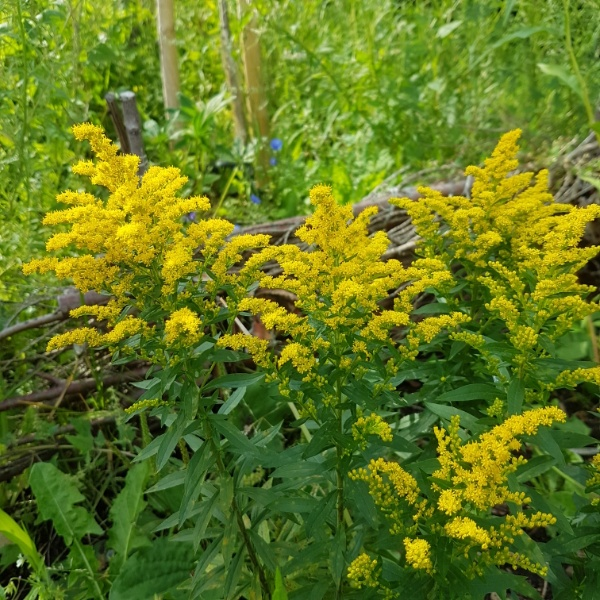 Goldenrod Solidago canadensis Baby Gold
