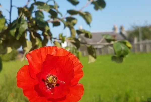 Forest garden useful weeds poppy