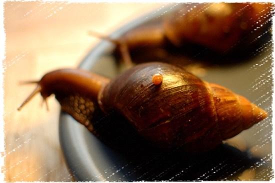 Das kleine Knubbelchen auf einer großen A. fulica :)