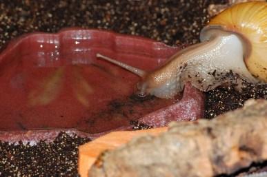 A. fulica rodatzi