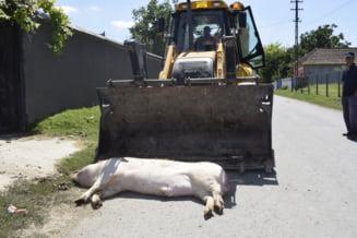 Un raport al CE arata ca in Romania, exista inca pericolul unei epidemii de pesta porcina. Autoritatile nu iau masuri preventive, industria autohtona moare, importurile triumfa