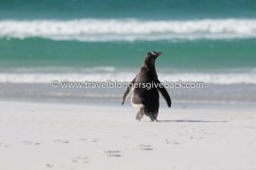 03 - Volunteer Point, Falklandinsaaret Vaihda Vapaalle Volunteer Point, Falklandinsaaret: Reilun kahden viikon Etelä-Amerikan risteilyn mieleenpainuvimmaksi muistoksi jäi vierailu Falklandinsaarilla. Syrjäisen Volunteer Pointin kauniin valkoisella hiekkarannalla voi nähdä kolmen eri pingviinilajin edustajia. Tässä kuvassa on valkokulmapingviini suuntaamassa turkoosia merta kohti. Myynnissä myös valmiina tauluna!