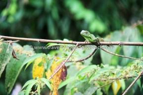 08 - Borneo, Malesia Cocoa Etsimässä Borneo, Malesia: Kuva on otettu Sepilokissa Malesian Borneolla toukokuussa 2012, kun olimme ensimmäisen maailmanympärimatkamme alkutaipaleella. Lepäilimme muutaman päivän patikkaretken jälkeen ekoresortissa, jonka parvekkeelta avautui huikea näkymä viidakkoon. Yhtenä päivä Arto ihaili maisemaa, mutta ihmetteli miksei viidakossa näy elukan elukkaa. (Vähän aikaa tuijoteltuaan Arto alkoi erottaa lehvien lomassa elämää. Tuolla räpyttelee kolibri, tuo taitaa olla rukoilijasirkka, tuollahan lentelee parvi valtavia perhosia. Jossain kaukana puiden latvoissa pomppii apina.) Yhtäkkiä suoraan nenän edessä puun oksalla istuukin tämä upea vihreä lisko. Arnan serkku ihastui tähän kuvaan niin, että aikoi teettää siitä taulun. Siksi valitsimme näyttelyyn juuri tämän kuvan.
