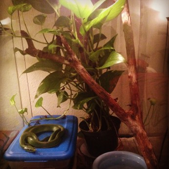 A simple setup involving a humid hid box, a water bowl, branch and pothos plant.