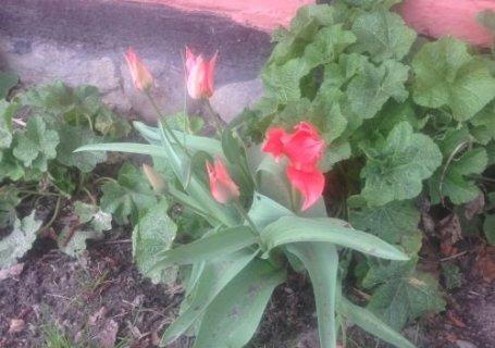 Smukke tulipaner
