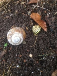 Lidt fra haven - Store og små snegle