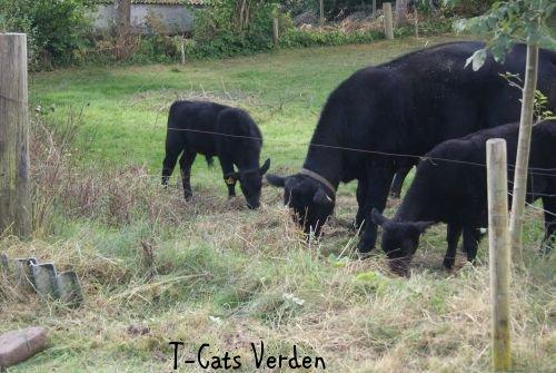 Køerne er på plads som altid - Når man støder på noget uventet
