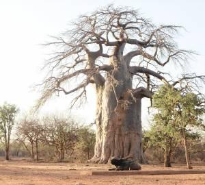 Rester debout comme le baobab