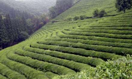 Enchanting emperors, seducing scholars, and charming commoners – The universal appeal of tea