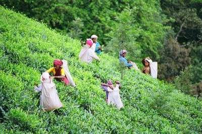 tea_pickers_field