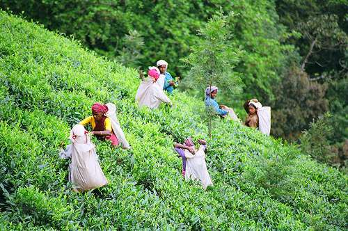 "Can we help tea pickers around the globe have a ""living wage""?"