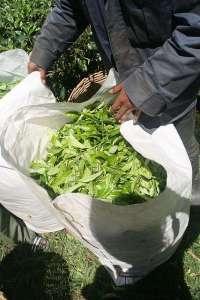 tea leaves alishan