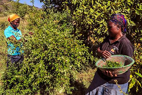 Africa's Jungle Teas – Disease Prevention Has a New Ally