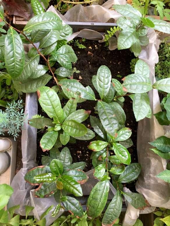 tea-growing-in-mexico-lorena-foglio-garden