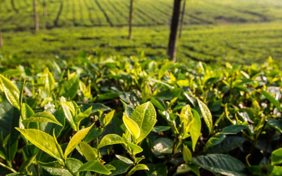 Artisanal home grown tea – made in the U.S.A.