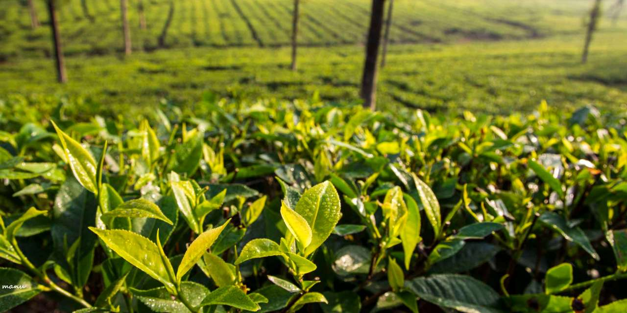 Artisanal home grown tea – made in the U.S.A.