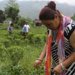 A New Legacy of Darjeeling Tea