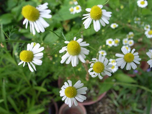 It Ain't Just For Stomach Distress – The Wonders of Chamomile Tea