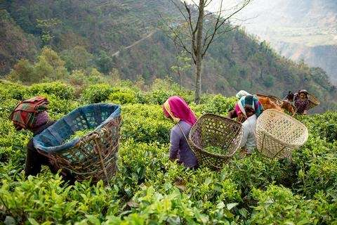A Day In the Life at Nepal Tea's Family Farm - Photo of some pickers in a field