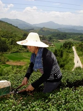 Woman harvesting tea with clippers, Huangtian, China