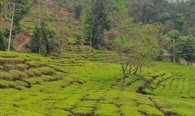An Overview of Tea in Nepal