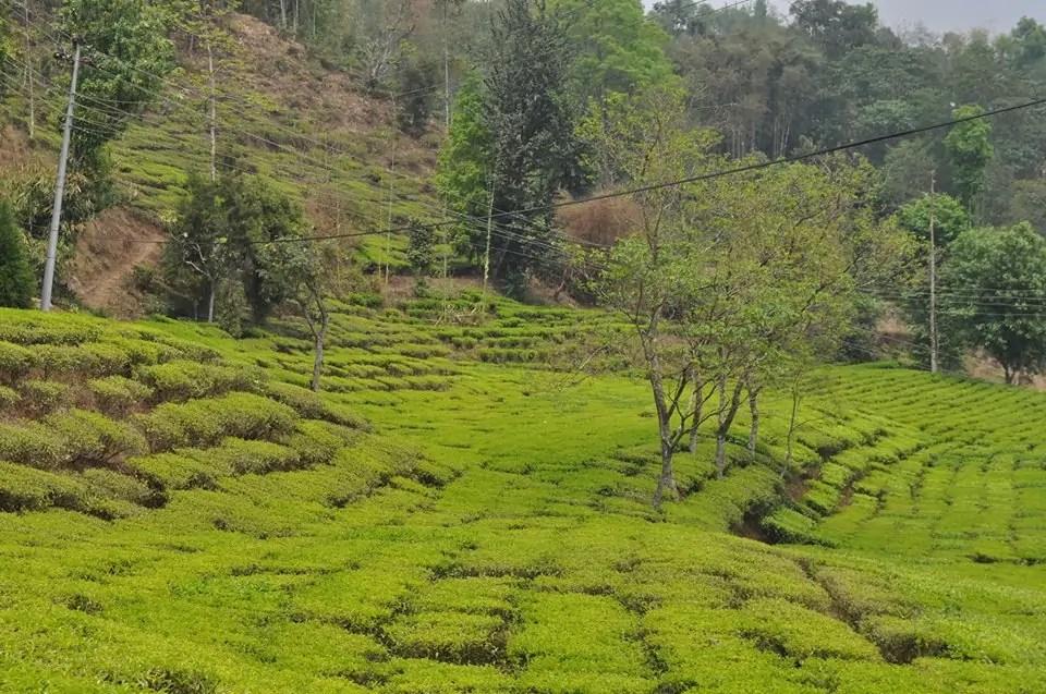 Nepal tea farm