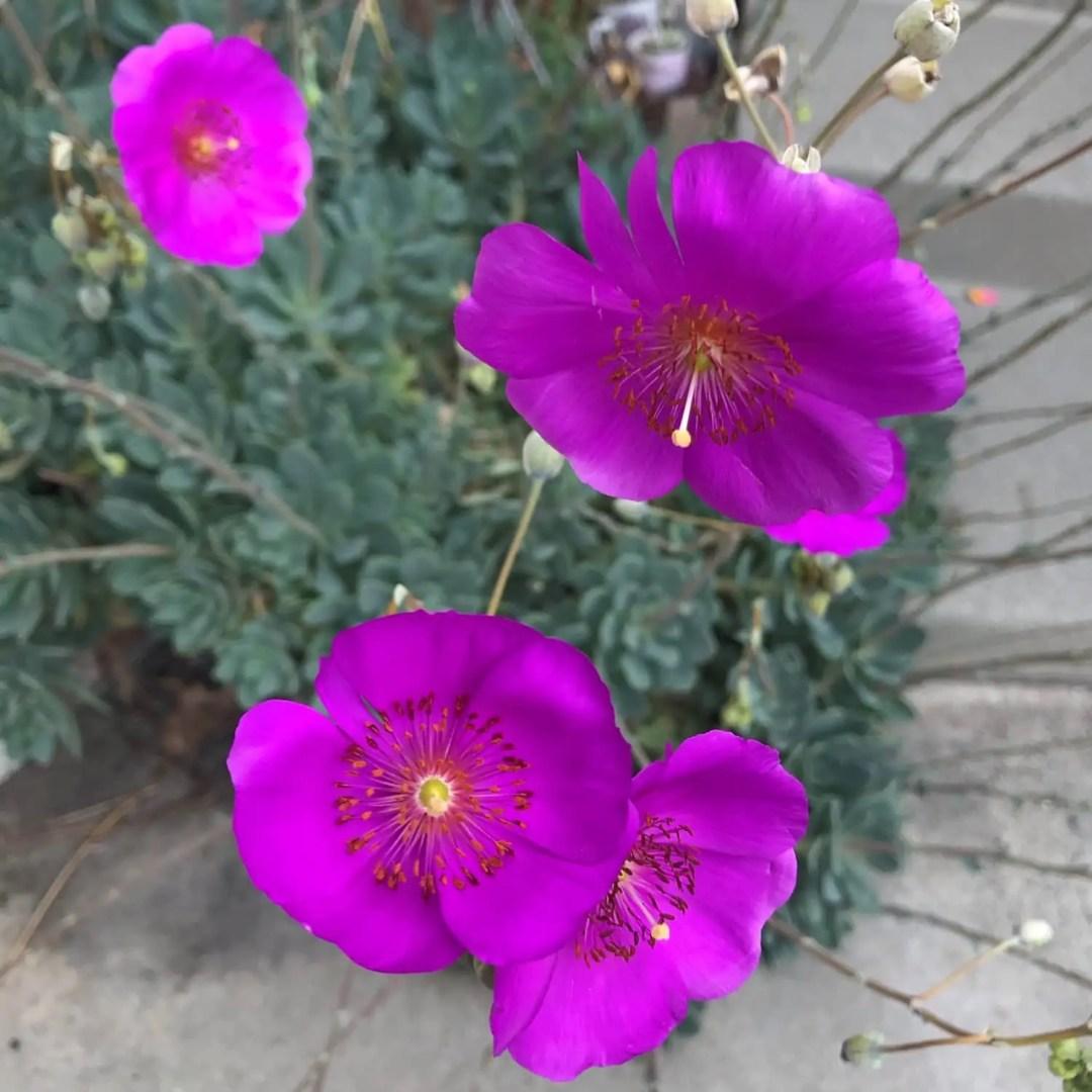 Rock Purslane in Bloom