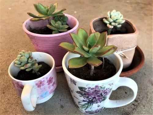 Succulents in Tea Mugs - January