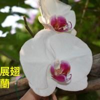 5.優美展翅的蝴蝶蘭如何選購-佩珊老師養蘭隨筆