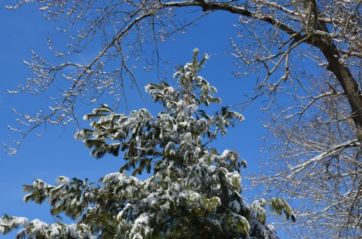 I love snow covered pine trees against a blue sky - perfect winter image!