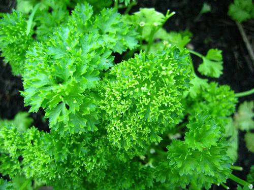 Parsley02