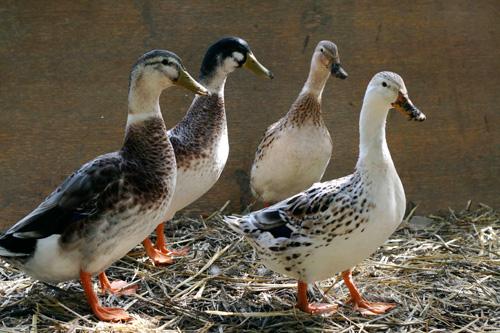 Appleyard (or Silver Appleyard) Ducks