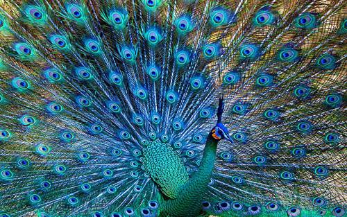 Peacock (a male Peafowl)