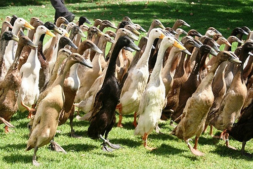 Runner Ducks always seem to be in a hurry, but they can lay up to 200 eggs a year!