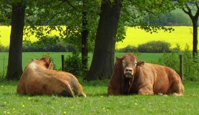 Campo, vacas