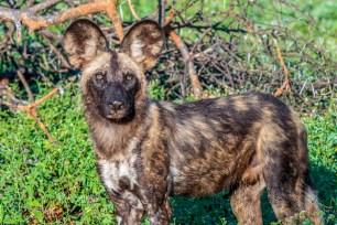 African Wild Dog 8
